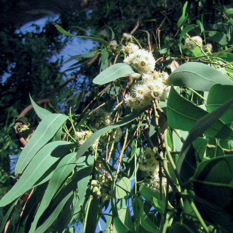 Eucalyptus citrodora