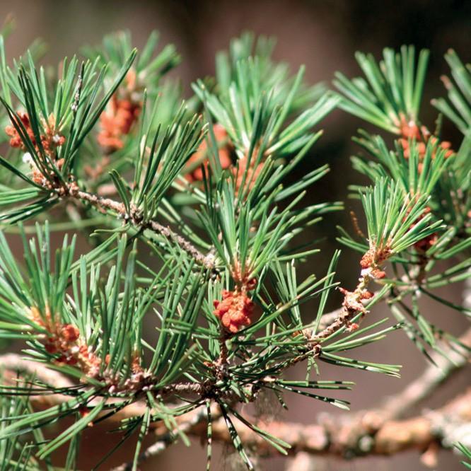 Pine Scots